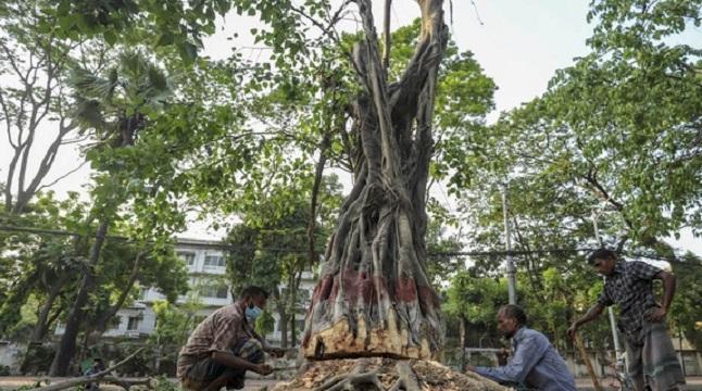 সোহরাওয়ার্দী উদ্যানে গাছ কাটা নিয়ে 'আদালত অবমাননার' অভিযোগ