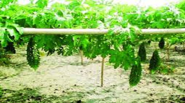 করোলার চাষে হাসি ফিরছে কৃষকের মুখে