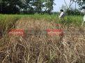 নোয়াখালীতে আমন ধানে পোকার আক্রমণে দিশেহারা কৃষক