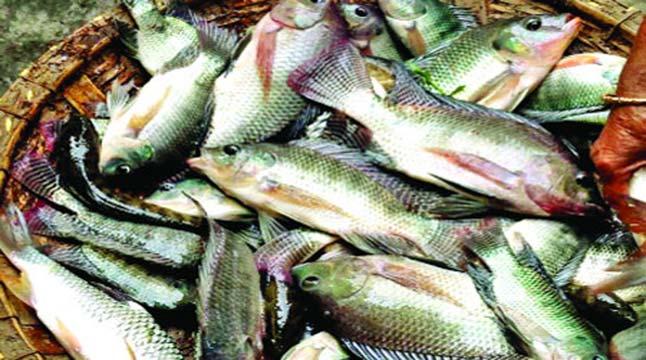 নীলফামারীতে চাহিদার তুলনায় মাছ উৎপাদনে ঘাটতি