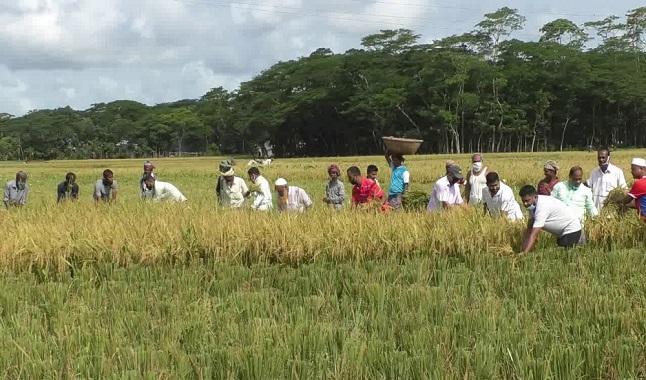 ভোলায় প্রন্তিক কৃষকের ধান কেটে দিল কৃষক লীগ