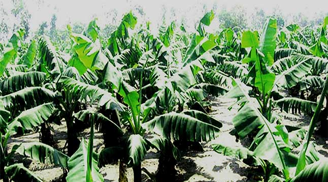 টাঙ্গাইলে কলা চাষে লাভবান কৃষকরা