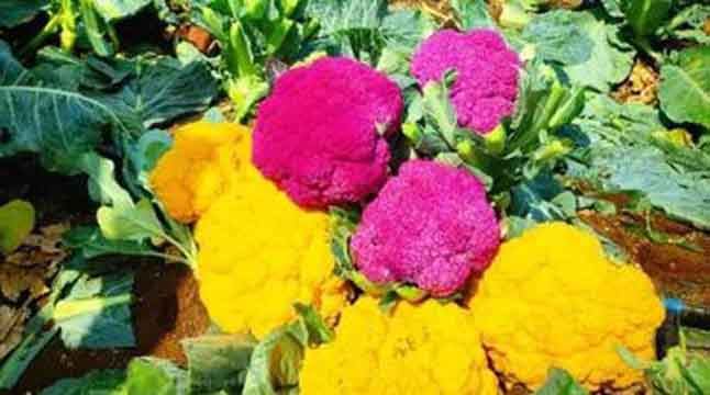 নানা রঙের ফুলকপি, দাম উঠল ১৬ লাখ রূপি
